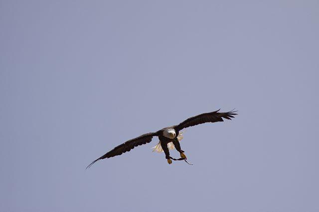 Free as a bird #eagles